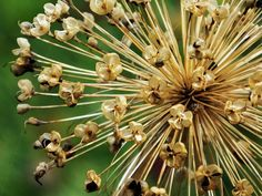 #Allium #seed #head with #empty seed #pods