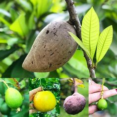 """Como va nuestra cosecha? How is our harvest going?  Estos árboles ya están bien cargados!  #Mamey #Guayaba #Guaba #NaranjaAgria #SourOrange #Chirimoya #Limon #Lime  🍊🍋🍈🥥🍊🍋🍈 . #AcreageLiving . . 🌿🎼 """"En el campo la Vida es mas sabrosa""""🌿 🍀At home #LaCabrera5K 🍀 SUN 11.Mar. 2018  #AngelicaBehm #MiamiLovers  #ConectandoEstiloDeVida"""