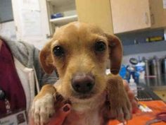 Check out Dog's profile on AllPaws.com and help her get adopted! Dog is an adorable Dog that needs a new home. https://www.allpaws.com/adopt-a-dog/chihuahua-mix-terrier/6105992?social_ref=pinterest