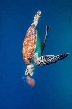 Turtle eating a jellyfish