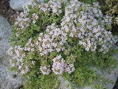 1000 ENGLISH THYME HERB SEEDS, NON GMO -- Awesome products selected by Anna Churchill