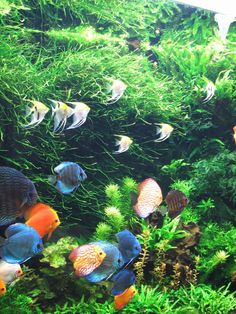 Big Planted Aquarium with Cichlids. Discus Aquarium, Discus Fish, Marine Aquarium, Aquarium Fish Tank, Planted Aquarium, Discus Tank, Tropical Freshwater Fish, Tropical Fish Tanks, Freshwater Aquarium