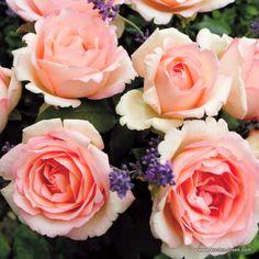 KORDES Rosen Souvenir de Baden-Baden ® - Gartenrosen Die schönsten Rosen der Welt