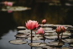 Lily Pictures, Flower Pictures, Denver, Lotus Image, Lotus Pods, Pink Lotus, Focus Photography, Pink Photo, Flower Images