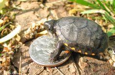 mud turtles | Eastern Mud Turtle