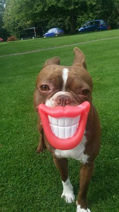 Sporting a Big Smiley! Rossi the red Boston from Surrey, England (Photo 2) - https://www.facebook.com/bterrierdogs