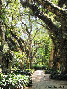 Path lined with beautiful trees, Jardim Botanico, Rio de Janeiro