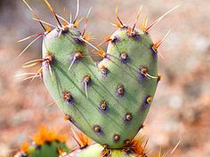 Cactus heart.  Prickly Pear cactus.  This happens frequently in our desert!  I heart it.