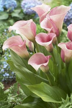 I Love Calla Lilies, they are so beautiful!