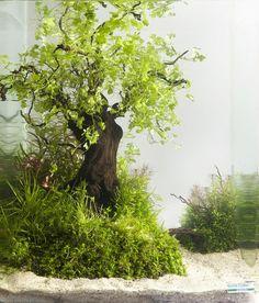 Puu Hydrocotyle tripartitasta