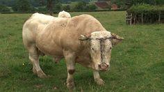 belgian steroid cows