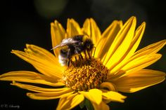 Bumble bee at work by nemi1968, via Flickr