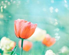 Flower Photography - 8x10 Tulip Print - Aqua Blue Peach Coral Teal Turquoise Wall Art by CarolynCochrane, $30.00 USD