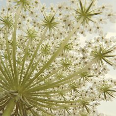 Queen Anne's lace a botanical history and poem by William Carlos Williams.