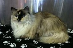 Karmen Ditto is an adoptable Ragdoll Cat in Denver, CO. Aren't I the prettiest thing you ever laid your eyes on? Hey, I have the papers to prove that I am all Ragdoll! I'm not like some of these jailb...