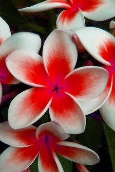 Red plumeria  So tropical! Reminds me of Hawaii. Repinned by sailorstales.wordpress.com with orange in middle for tattoo