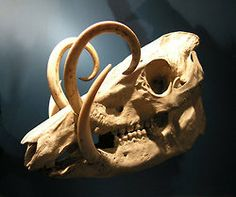 babirusa - a pig or pig like animal that exists today.  so odd and dysfunctional looking.  One pair of tusks comes from sides of nose and the other comes from the sides of the bottom jaw...