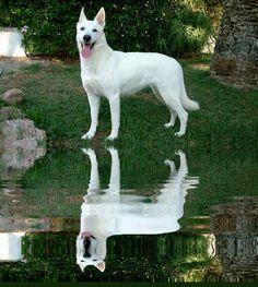 White German Shepherd.....#1 best family dog  and  smart!
