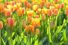Darwin Hybrid Tulip 'Apeldoorn's Elite' | Flickr - by Stephane Bailliez