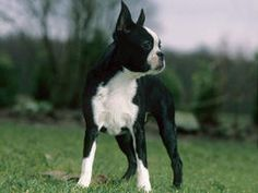 Chien Terrier de Boston