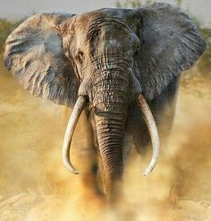 Massacre of the giants: Once hunted to near extinction, Africa's elephants slowly pulled back from the brink Elefant in Afrika bedroht Bull Elephant, Elephant Face, African Elephant, African Animals, Elephant Images, Elephant Theme, All About Elephants, Save The Elephants, Elephant Photography