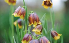 adore these sweet winter bulbs