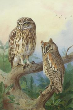 tawny Owl and Short-eared Owls  - Archibald Thorburn