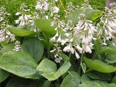 Hosta in bloom. To order Life Is a Garden Party, go to WestBow Press. To read samples, click on http://lifeisagardenparty.blogspot.com