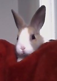 Oliver the dutch bunny