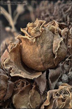 """"""" Puisqu'une telle fleur ne dure Que du matin Jusques au soir ! """" ( Pierre de Ronsard )  / Rose. / By Theodoris Boubas."""