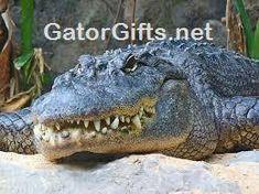 Visit GatorGifts.net for more cool gator photos and videos