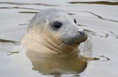 "rescued seal ""Cookie"""