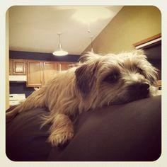 Darby the Norfolk Terrier, Looks like Mugsy's twin!!