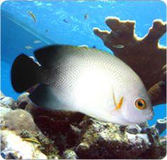 Half-Black Angelfish, Pearlscale Angelfish - Centropyge vrolikii