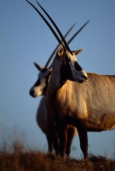 "Arabian ""Unicorn"" Leaps Out of Near Extinction Antelope rises from six to a thousand individuals in Middle East."