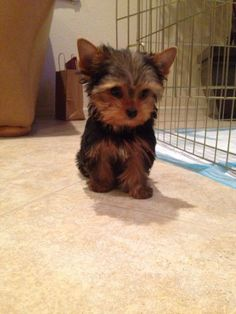 Duke of Yorkie - Yorkie Yorkshire Terrier Puppy Pets Dogs #YorkshireTerrier