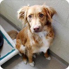 McKinney, TX - Australian Shepherd/Irish Setter Mix. Meet Max, a dog for adoption. http://www.adoptapet.com/pet/12220009-mckinney-texas-australian-shepherd-mix