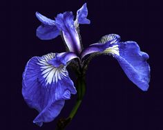 Iris by Bob Hall on 500px