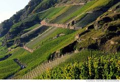 A vineyard in the Mosel region.