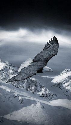 ♂ eagle fly over snow mountain black & white