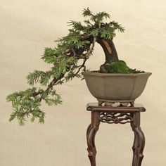 Use moss as a companion ground cover for an indoor bonsai.