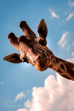 A Tall Friend by Peter Comninellis / 500px