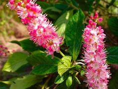 Summersweet (Clethra alnifolia) - ruby spice