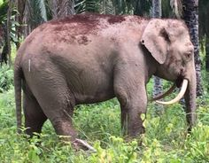 World's smallest elephants killed for ivory in Borneo