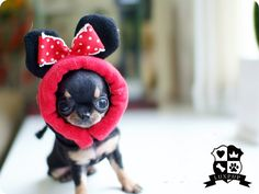 Chihuahua....so sweet