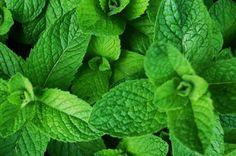La Menta: reina de las plantas medicinales. Propiedades para la salud