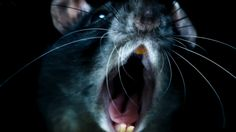 'Real Life is Scarier than Anything You Can Dream Up': Morgan Spurlock on Horrifying 'Rats' http://best-fotofilm.blogspot.com/2016/09/life-is-scarier-than-anything-you-can.html    This horror-documentary will have you looking under your bed at night.         Truth is not only stranger than fiction, but it's also more horrifying. For example: Did you know that there's a rat for every person in New York City (at least 8.2 million)? And that a rat can carry 5 million deadly viruses on just one…