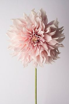 The Simple Beauty of Dahlia