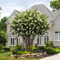 Long-Lasting White Blooms - Gardeners and admirers are blown away by the masses of large white flowers that blossom in front of dark green foliage. Enjoy bright white blooms from June to September. The colorful show does not stop with the blooms. The bark is cinnamon color, providing a nice contrast to the plentiful and...