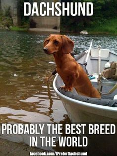yep: Daschund, Dogs And Cats, Truth, Doxies, Wiener Dogs, Hot Dogs